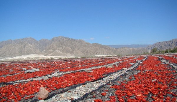 tomates en jáchal